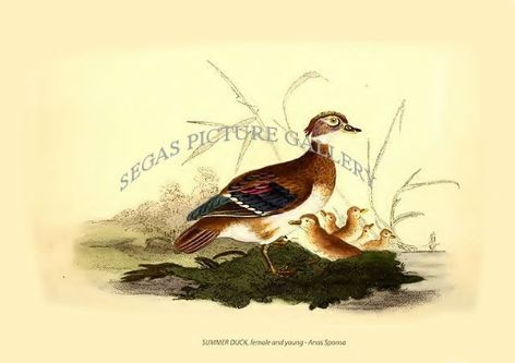 Fine art print of the SUMMER DUCK, female and young - Anas Sponsa by Edward Donovan (1819)